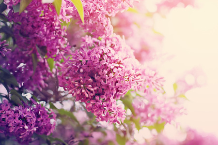 Spring blossom of lilac flowers. Pastel colored image. Natural beauty.