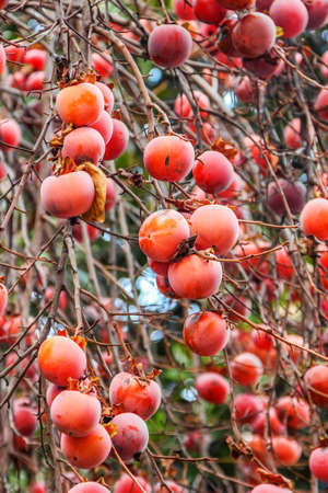 persimmon tree: Persimmon tree with red fruit in winter, Italy.