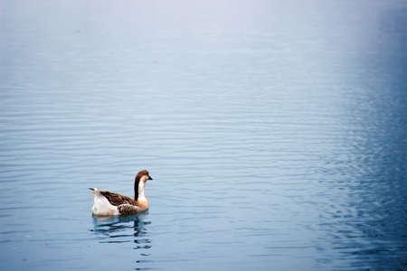 swimming bird: Goose bird swimming on the lake. Stock Photo