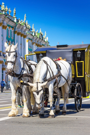 SAINT PETERSBURG, RUSSIA - MAY 25, 2015: White horses with carriage waiting for tourists on Palace square in Saint Petersburg, Russia.
