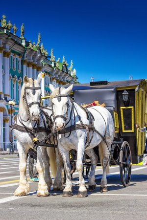 SAINT PETERSBURG, RUSSIA - MAY 25, 2015: White horses with carriage on Palace square in Saint Petersburg, Russia. Attraction for tourists.