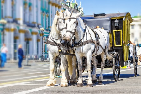 SAINT PETERSBURG, RUSSIA - MAY 25, 2015: Two white horses on Palace square in Saint Petersburg, Russia.