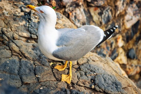 seabird: Seagull standing on the rock. Stock Photo