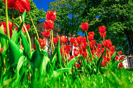 Red tulips blossoming in spring.