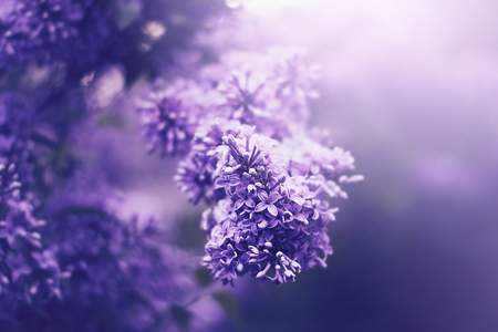 Blossoming flowers of lilac in the garden. Spring nature beauty.