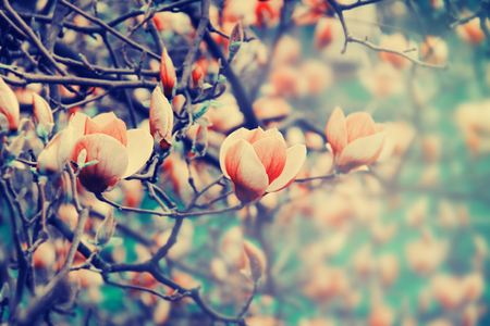 Magnolia flowers blossoming in the spring. Nature background.