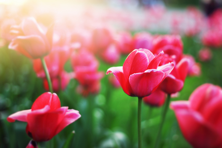 Red tulips in the park in spring. Bright nature flower colors.