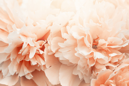 Peony flowers blossoming in the garden. Stock Photo