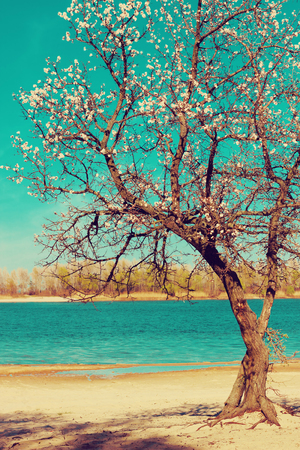Apricot tree blossoming near the river in spring. Filtered image.