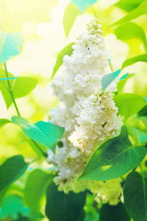 White lilac flowers blossom in the spring. Stock Photo