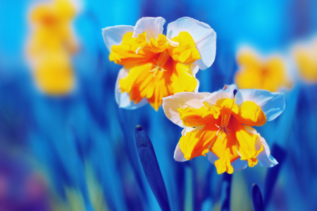 Yellow narcissus blossom in spring. Stock Photo