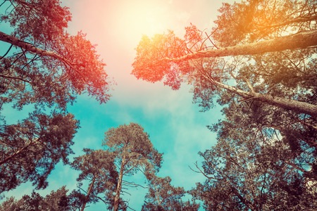 Pine trees over blue sky. Nature background