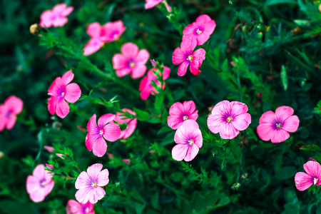 Beautiful floral background with pink flowers crassipes oxalis