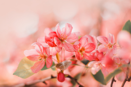 Pink flowers blossom on tree. Nature floral pastel  background 스톡 콘텐츠