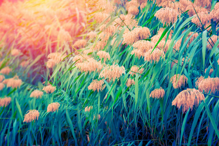 Green bulrush plants in summer at sunset Banque d'images