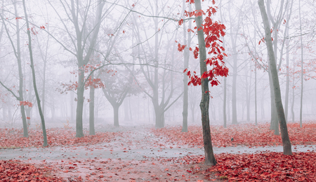Autumn fog in park. Trees with red leaves. Devarication of footpath Foto de archivo - 115985829
