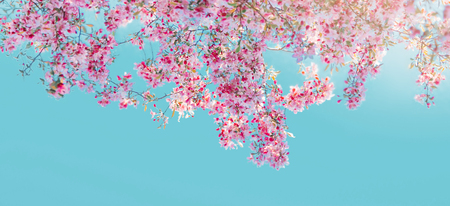 Pink flowers blossom on tree over blue sky. Nature beautiful floral background