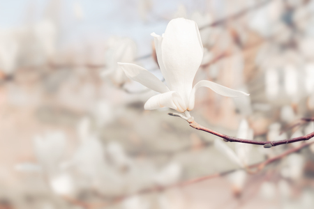 Magnolia tree flowers blooming in spring. Nature floral blossom background. Pastel colors.