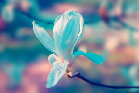 Magnolia tree flowers bud in spring. Nature floral blossoming background. Colourful tone