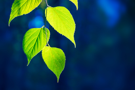 Green leaves of tree over nature background with copy space Standard-Bild