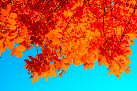 Autumn red leaves on tree over blue sky. Nature bright background