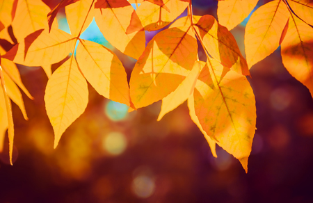 Autumn yellow leaves on tree. Nature bright background