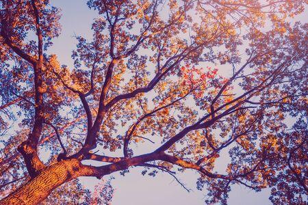 Autumn tree leaves of oak over blue sky. Nature colorful seasonal background.