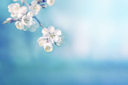 Beautiful tree flowers in spring nature. Blue pastel color toning.