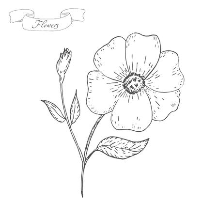 wildrose: Vintage Flower sketch. Flower background. Hand drawn card vector illustration