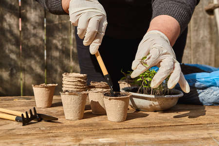 Transplanting Tomato Seedlings by female hands with gardens tools