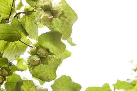 Haselnüsse hängen an den Zweigen eines verdrehten Haselbaums rohes Bio-Gut