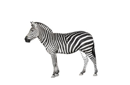 zebra on a white background
