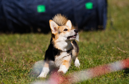 dog in agility competition Stockfoto