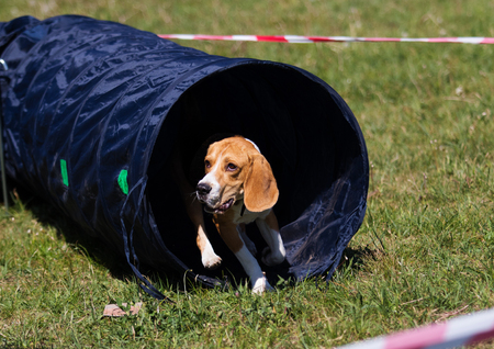 dog in agility competition Stock Photo
