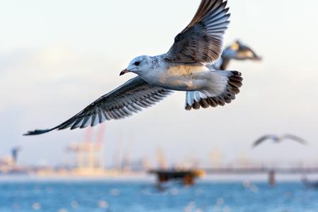 wintering: Seagull Stock Photo