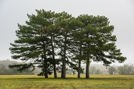 pinetree: Pine-tree Stock Photo