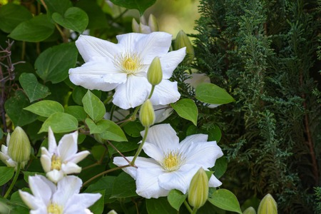 clematis: Clematis. White clematis.