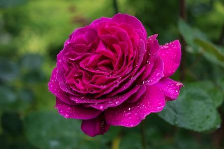 purple rose: Purple rose. In the garden.