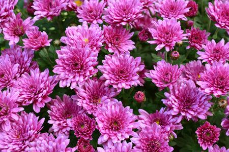autumn garden: Chrysanthemum. Flowers. Autumn Garden.
