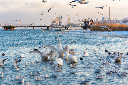 wintering: Swans and seagulls. Black Sea. Winter.