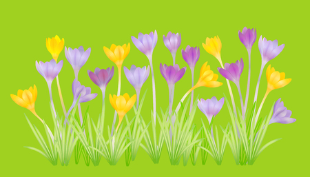 Crocuses - small, spring-flowering plant of the iris family. Stock Photo