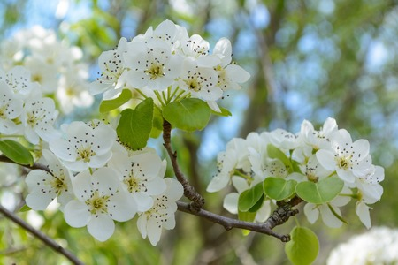 Branch of blossoming tree with white flowers. Spring flowering.