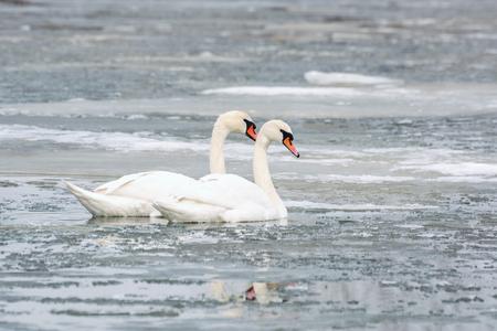 White swans on ice frozen sea. Winter.
