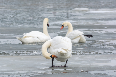 cygnet: White swans on ice frozen sea. Winter.