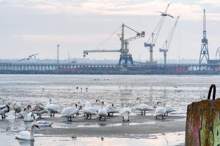 cygnet: Swans, seagulls and ducks on ice frozen sea. Winter.