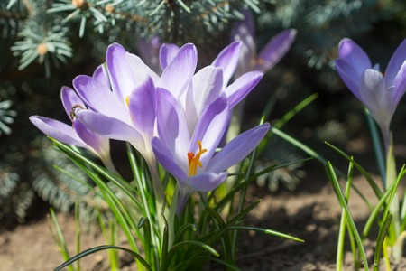 apis: Violet crocuses - small, spring flowering plant of the iris family. Stock Photo