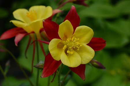 Aquilegia - plant of the buttercup family, bearing showy flowers with backward-pointing    spurs. Stock Photo