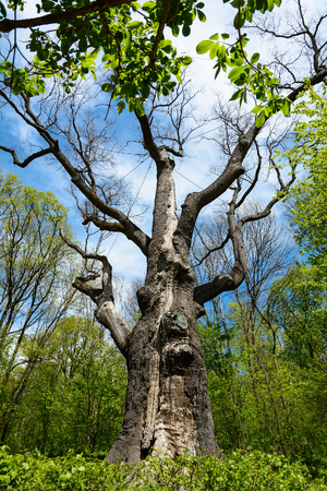 eldest: Old oak-tree Maxim Zaliznyak in Buda, the age of more than a thousand years. Stock Photo