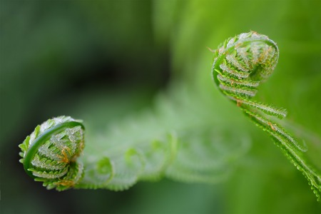 bourgeon: Vernal unfolding fern leaves. Young sprouts of the fern.