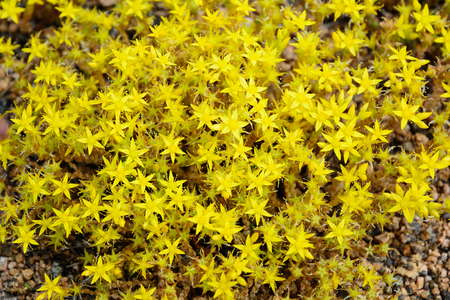 stellate: Yellow low-growing wildflowers of saxifrage (mother of thousands) on granite stones on a summer day. Many are grown as alpines in rock gardens.